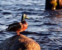 Cranberry Lake Duck 1
